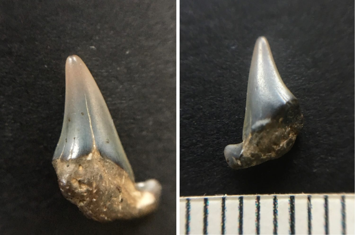 Fossilised shark tooth with and without scale