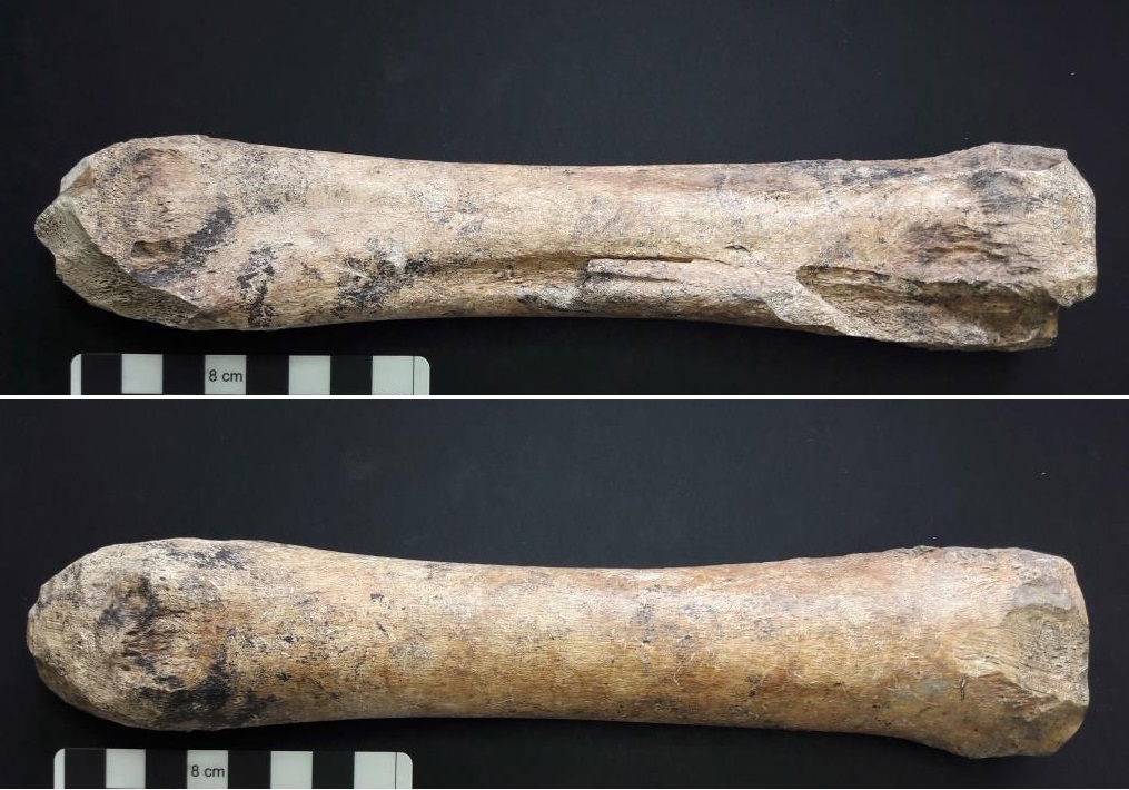 Bone roughly worked to even width and round one end (23.5cm long)