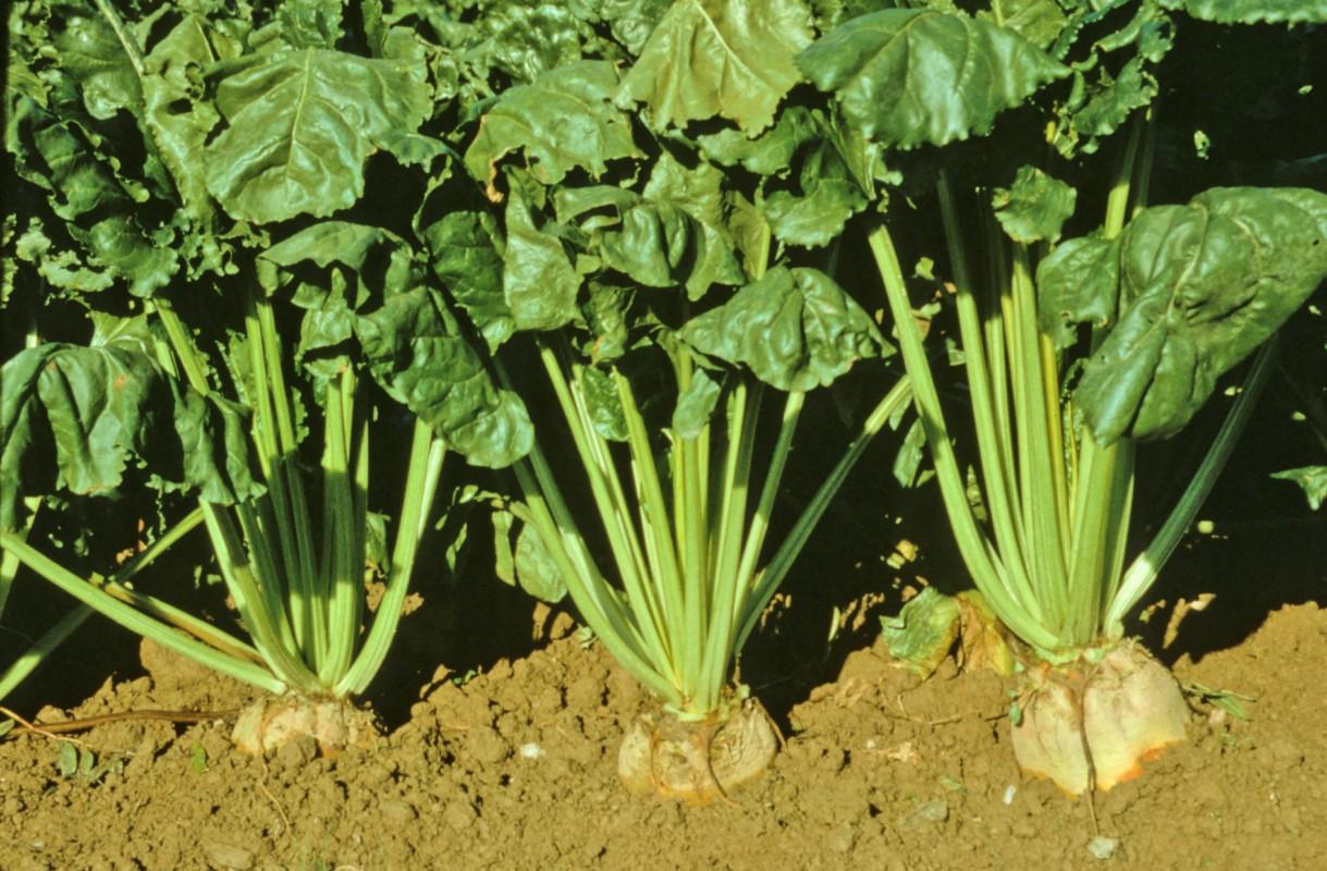 Mangelwurzels growing
