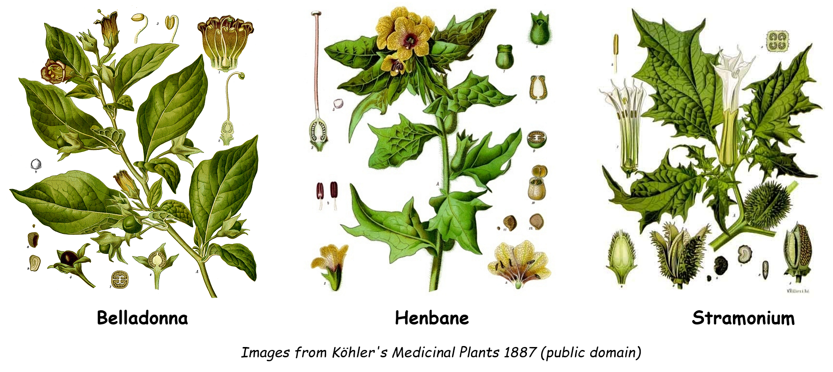 Henbane, belladonna and stramonium plants