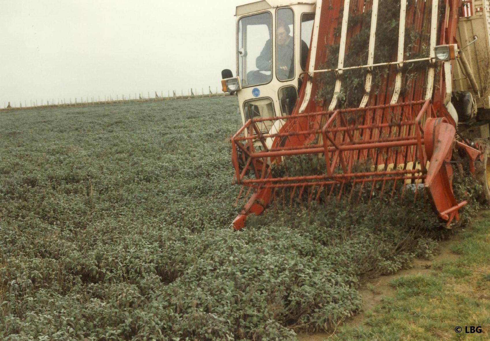Machine harvesting sage