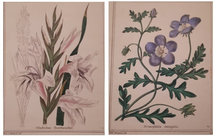 Gladiolus floribundus on Plate 2 of Vol VII of Maund's The Botanic Garden painted by Miss S. (Sarah) Maund & Nemophila insignis on Plate 3 of Vol VII of Maund's The Botanic Garden painted by Miss (possibly Eliza?) Maund at Ref LP 581