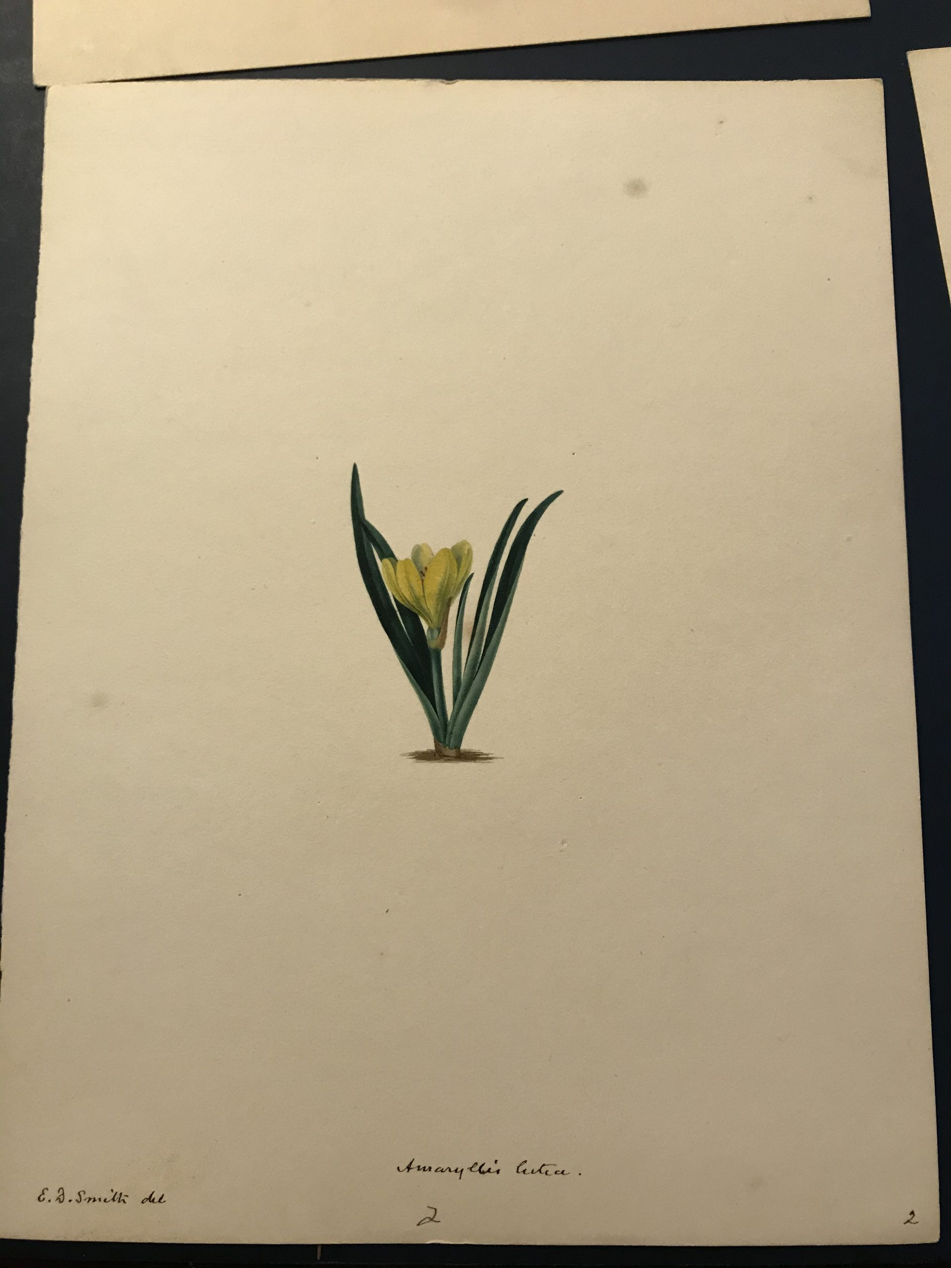 Original watercolour of Amaryllis lutea from Volume 1 of Maund's The Botanic Garden at NHM Library Special Collections Botany Drawings CUPD 12