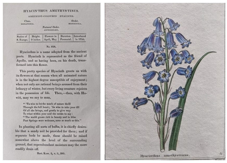 Description of and plate of Hyacinthus amethystinus from Maund's The Botanic Garden Vol VII