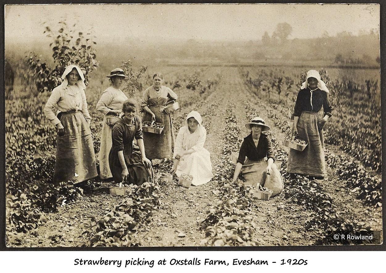 Strawberry picking at Oxstalls Farm - 1920s